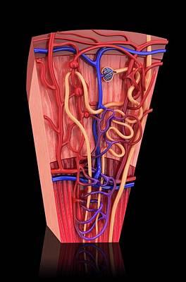 Human Kidney Nephron Print by Pixologicstudio