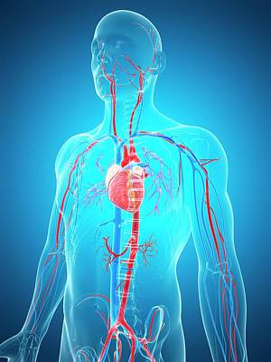 Human Internal Organ Photograph - Human Vascular System by Sebastian Kaulitzki