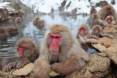 Honshu Photograph - Japanese Macaque (macaca Fuscata by Peter Adams