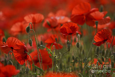 Colored Background Photograph - Red Poppy Flowers by Nailia Schwarz