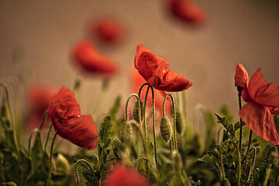 Poppy Photograph - Summer Poppy by Nailia Schwarz