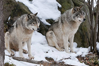 Dog Pics Photograph - Timber Wolves by Wolves Only