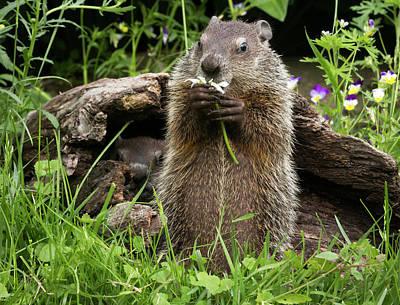 Groundhog Photograph - Usa, Minnesota, Sandstone, Minnesota by Jaynes Gallery