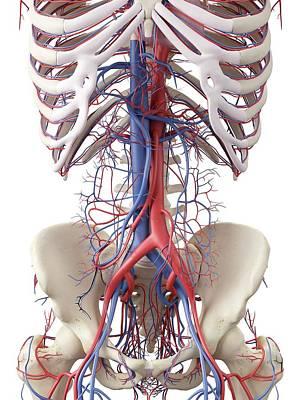 Vascular System Print by Sciepro