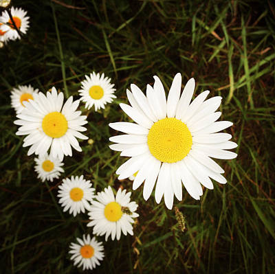 Wild Daisies Print by Les Cunliffe