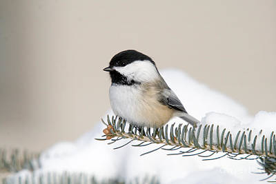 Northwoods Photograph - Black-capped Chickadee by Linda Freshwaters Arndt