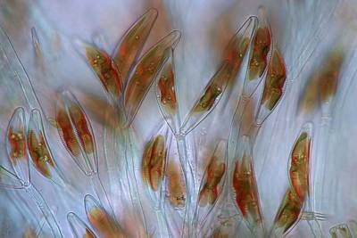 Diatoms Photograph - Diatoms, Light Micrograph by Science Photo Library