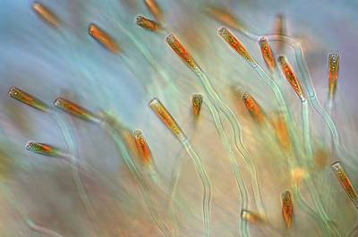 Striae Photograph - Diatoms by Marek Mis