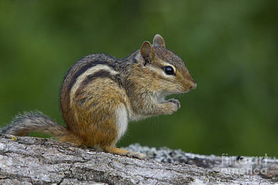 Sustain Photograph - Eastern Chipmunk by Linda Freshwaters Arndt