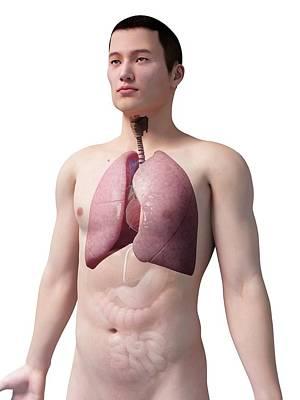 Airways Photograph - Human Lungs by Sebastian Kaulitzki