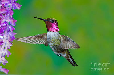 Nectaring Bird Photograph - Annas Hummingbird by Anthony Mercieca