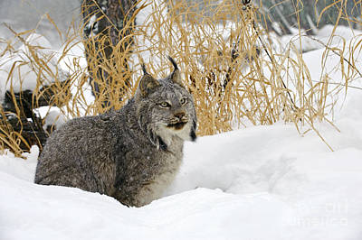 Canadian Lynx Photograph - Canadian Lynx by John Shaw
