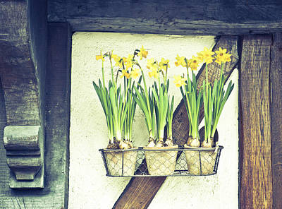 Pansy Photograph - Daffodils by Tom Gowanlock