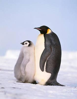 Emperor Penguin Aptenodytes Forsteri Print by Hans Reinhard