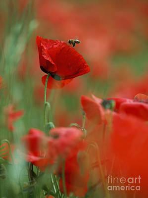 Background Photograph - Red Poppy Flowers by Nailia Schwarz