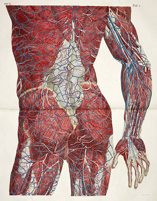 The Circulatory System Print by British Library