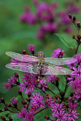 Dragonflies Photograph - Usa, Pennsylvania by Jaynes Gallery