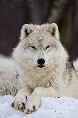 Black. Arctic Wolf Photograph - Arctic Wolf by Michael Cummings