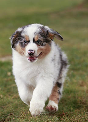 Dog Trots Photograph - Australian Shepherd Puppy by Jean-Michel Labat