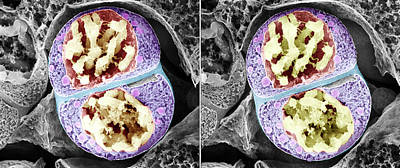 Monocot Photograph - Dividing Pollen Cell by Professor T. Naguro