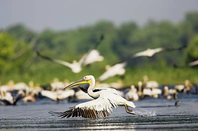 Eastern Europe Photograph - Great White Pelican (pelecanus by Martin Zwick