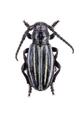 Longhorn Beetle Print by F. Martinez Clavel
