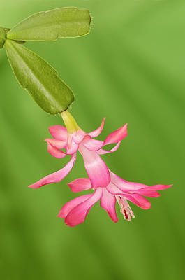 Christmas Cactus Photograph - Usa, Colorado, Lafayette by Jaynes Gallery