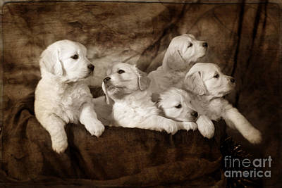 Golden Retriever Puppy Photograph - Vintage Festive Puppies by Angel  Tarantella