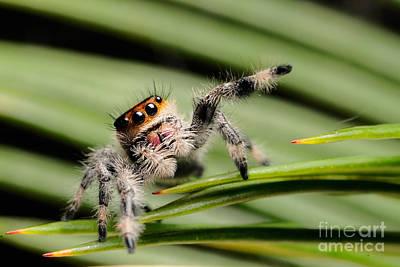Regal Jumping Spider Print by Scott Linstead