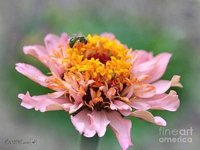 Zinnia From The Candy Mix Print by J McCombie