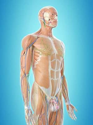 Normal Photograph - Human Anatomy by Sciepro