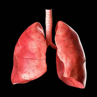 Airways Photograph - Human Lungs by Sciepro