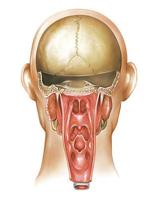 Paranasal Sinuses Print by Asklepios Medical Atlas