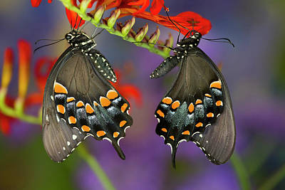 Crocosmia Photograph - Spicebush Swallowtail Butterfly by Darrell Gulin