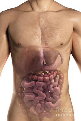 Male Organ Photograph - The Digestive System by Science Picture Co