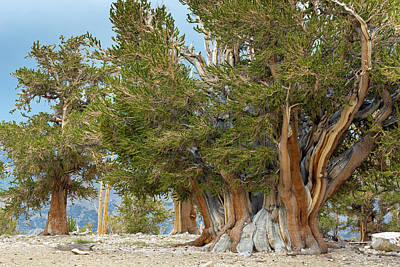 Usa, California, Inyo National Forest Print by Jaynes Gallery