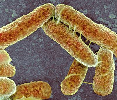 E Coli Bacteria Print by Science Photo Library