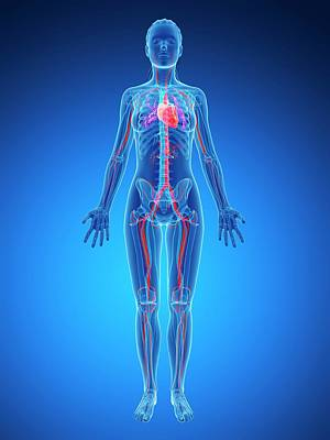 Human Internal Organ Photograph - Female Vascular System by Sebastian Kaulitzki