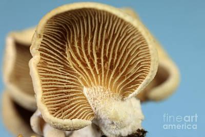 Luminescent Mushroom, Panellus Stipticus Print by Ted Kinsman