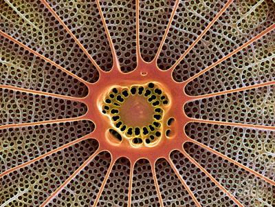 Calcareous Phytoplankton Photograph - Diatom, Sem by Steve Gschmeissner