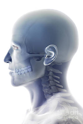 Bones Of The Head And Neck Print by Science Picture Co