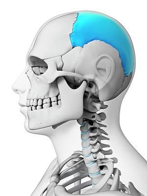 Human Skull Print by Sebastian Kaulitzki