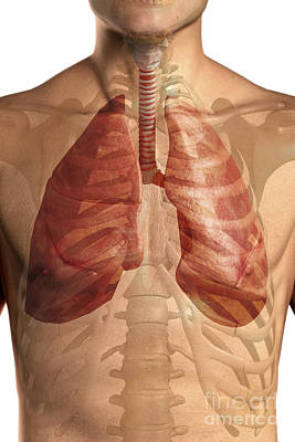 Male Organ Photograph - The Respiratory System by Science Picture Co
