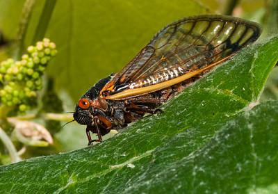 Cicada Photograph - 17 Year Cicada 3 by Lara Ellis