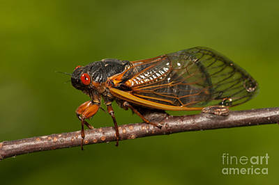 Insects Photograph - 17-year Periodical Cicada I by Clarence Holmes