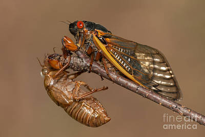 Insects Photograph - 17-year Periodical Cicada II by Clarence Holmes