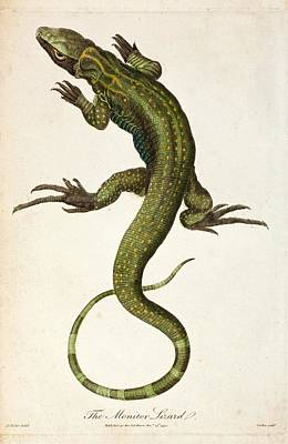 Monitor Photograph - 1795 Linnaeus Monitor Lacerta Monitor by Paul D Stewart