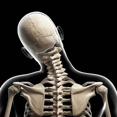 Human Bones Photograph - Human Skull And Neck Bones by Sebastian Kaulitzki