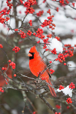 Male Northern Cardinal Photograph - Northern Cardinal (cardinalis Cardinalis by Richard and Susan Day
