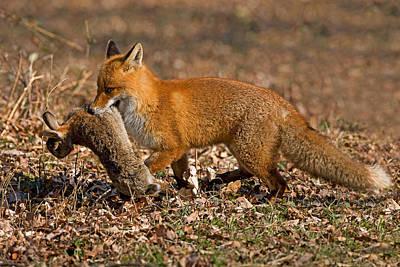 Rabbit Hunting Photograph - Red Fox Vulpes Vulpes by Gerard Lacz
